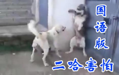 【国语版】二哈:我敢挑事!但是我认怂啊!!!服不服!!
